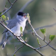 Blackcap, Sylvia atricapilla — Stock Photo #72415587