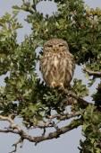Little owl, Athene noctua — Stock Photo
