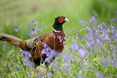 Common pheasant, Phasianus colchicus, — Stock Photo