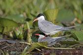 Common tern, Sterna hirundo — Stock Photo