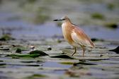 Squacco heron, Ardeola ralloides — Stock Photo