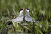 Whiskered tern, Chlidonias hybridus   — Stock Photo