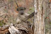 Chacma baboon, Papio ursinus — Stock Photo