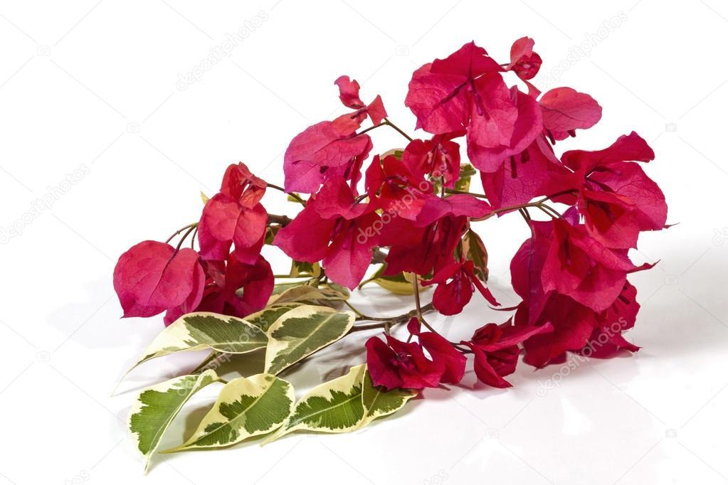 les feuilles vertes et blanches de bougainvilliers et fleurs roses