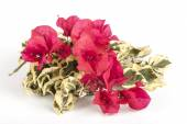 Red Bougainvillea Flowers with Variegated Green and White Leaves — Stock Photo