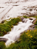 Quick stream is falling down over slipper  stones  and betwen fresh green herbs. First snow on Alpine hill in background. Contrast of summer flower with wet autumn snow. — Stock Photo