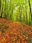 Forest at end of summer, beech trees at near autumn forest surrounded by fog. Rainy day. — Stock Photo