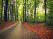 Curved path bellow beech trees. Near autumn in forest surrounded by fog. Rainy day. — Stock Photo