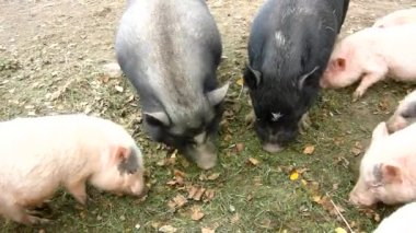 Young pink piglet and old brown  pigs are grazing fresh green grass on meadow — Stock Video