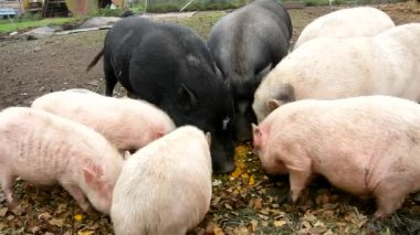 Young pink piglet and old brown  pigs are grazing fresh green grass on meadow — Video Stock