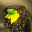 Yellow green death maple leaf in stream. Autumn castaway on wet mossy stone in cold blurred water of mountain river. — Stock Photo #55629645