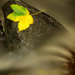 Yellow green death maple leaf in stream. Autumn castaway on wet mossy stone in cold blurred water of mountain river. — Stock Photo #55629669