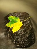 Yellow green death maple leaf in stream. Autumn castaway on wet mossy stone in cold blurred water of mountain river. — Stock Photo