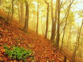 Autumn mist in leave forest. Bended beech and maples trees with less leaves under fog. Rainy day. — Stock Photo