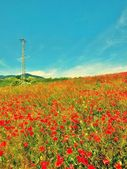 Old steel electric poles in poppy field with blue sky  above — Stock Photo