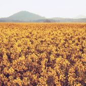 Trees, stalk of rape in the spring yellow field of blooming rapes, the sharp hill on the horizon. — Stock Photo