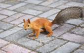 Beautiful squirrel sitting on the road — Foto de Stock