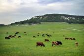 Cows on green meadow. Nature composition  — Foto de Stock