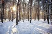 Evening winter forest. Beautiful winter forest with sunrise  — Stockfoto