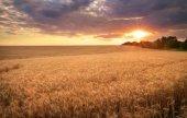 Meadow of wheat. Beautiful sunset — Stock Photo