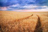 Meadow of wheat. Beautiful landscape. — Stock Photo