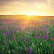 Field with grass, violet flowers and red poppies against the sun — Stock Photo #70654801