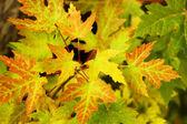 Yellow, orange and green autumn maple leaves on tree — Stock fotografie