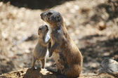 Prairie dog and baby — Stock Photo