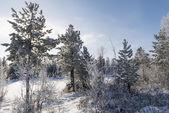 Scenic winter forest landscape in the north of Russia — Stock Photo