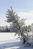 Winter landscape Siberian pine in hoarfrost  — Stock Photo
