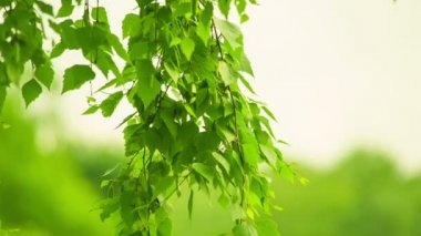 Birch swaying. Blurred background. HD 1080. — Stock Video