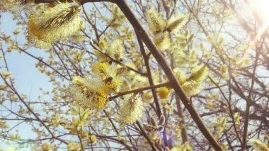 Beautiful Willow in Sunny Spring. Bees and Pollen. HD 1080. — Stock Video