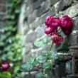 Red Roses and Brick Wall — Stock Photo #53182123