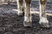 Horse Legs — Foto de Stock