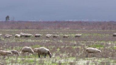 Schafe auf Natur-Gebiet — Stockvideo