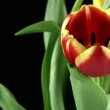 Tulips on Black Background — Stock Video #67545999