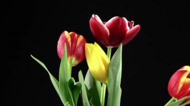Tulips on Black Background — Stock Video