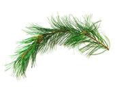 Branch cedar on a white background — Stock Photo