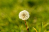 Dandelion against a grass — Stock Photo