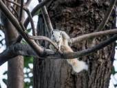 White squirrel scratching on a tree branch — Stock Photo