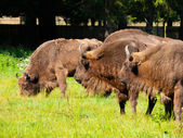 European wood bison herd — Stock Photo