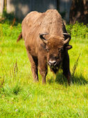 European wood bison — Stock Photo