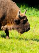 Detailed view of european bison — Stock Photo