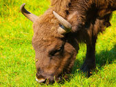 Head of european bison — Stock Photo