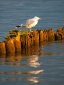 Seagull sitting on a pillar — Foto de Stock