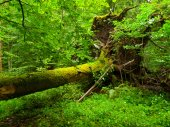 Uprooted tree fallen in the forest — Stock Photo