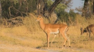 Impalas crossing the road — Video Stock