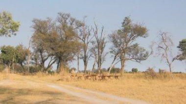 Herd of impalas in savanna — Video Stock