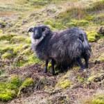 Icelandic black sheep — Stock Photo #70895841