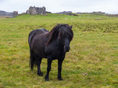 Black icelandic horse — Stock Photo